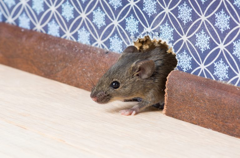 signs of mice